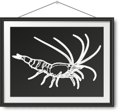 刺身級野生牡丹蝦 Spot Shrimp Sashimi Photo Frame