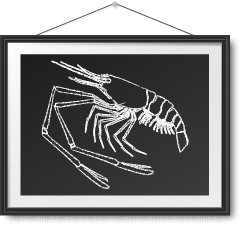 急凍越南大頭蝦 Frozen Vietnam Giant River Prawn Photo Frame