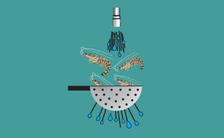 Washing raw kuruma prawn
